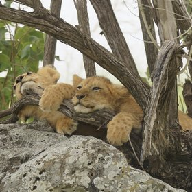 …or these lion cubs whiling away the hot hours in Leopard Gorge, in the Mara North Conservancy.