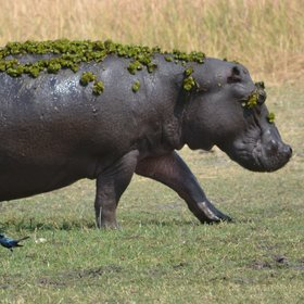 ...the occasional solo hippo...