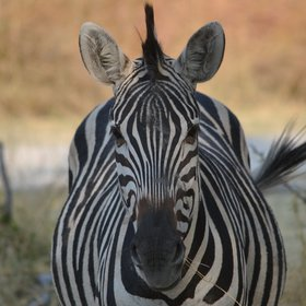 Wildlife sightings can include Botswana's national animal - the zebra...