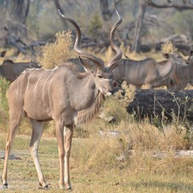 ...the extraordinary Greater kudu...