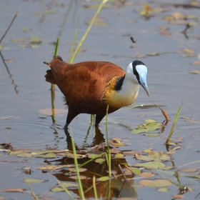...the graceful African jacana...