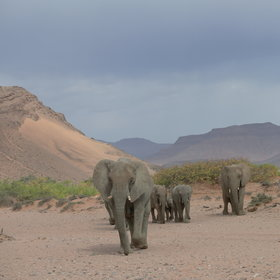 Why not try tracking the desert-adapted elephants...