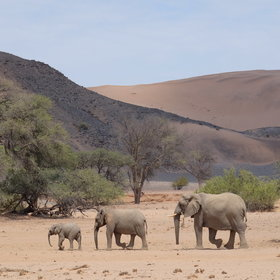 ...or take a trip to see the desert elephants...