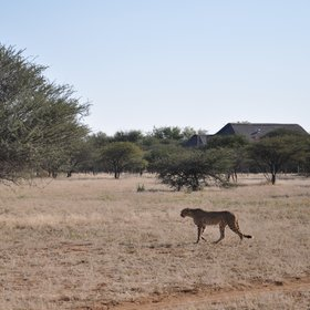The main activities here focus on the rescued cheetahs housed at the CCF.