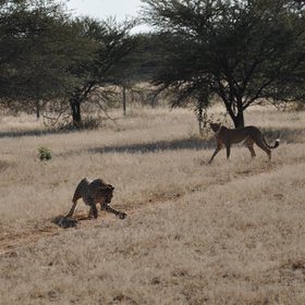 The cheetahs chase a lure pulled at speeds of up to 40km/h...