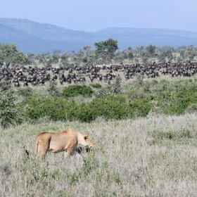 You might be lucky enough to find some of the Serengeti's residents hunting...