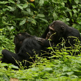 Gishwati NP, to the west of Rwanda, has a smaller population of habituated chimpanzees.