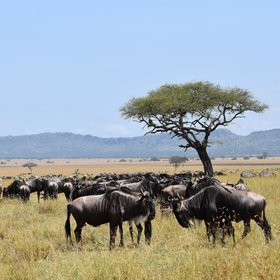 One of the main reasons people stay at Kimondo is the wildebeest migration...