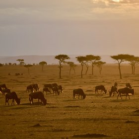 ... with the wildebeest migration...