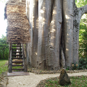 The rooms at Chole Mjini are fantastic treehouses, built into huge baobab trees.